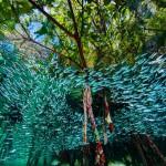 Атериновые рыбки объединяются в большие стаи, чтобы запутывать хищников.
