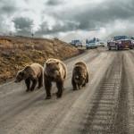 Медведица гризли со своими медвежатами стала причиной затора на дороге, открытой для частного автотранспорта всего пять дней каждое лето, Денали, Аляска.