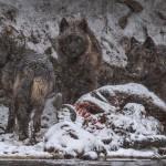 Туша бизона, утонувшего в реке Йеллоустоун, стала ужином для семейства волков.