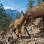 Трёхнедельные лосята с мамой совершают свою первую миграцию в Йеллоустоне.
