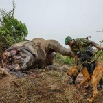 Следопыт с ищейкой пытается отследить браконьеров, которые убили слона и отсекли ему голову, чтобы быстро уйти с бивнями.