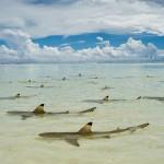 Черноперые акулы ждут прилив в лагуне атолла Альдабра, Сейшелы.