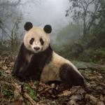 Йе Йе – 16-летняя гигантская панда в природном заповеднике Волун, Китай.