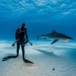 Дайвер и тигровая акула на Багамах. Сцена не так опасна, как может показаться. Эта хищница при охоте полагается на фактор неожиданности, поэтому вряд ли нападёт на аквалангиста, который на неё смотрит.