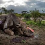Браконьеры убили этого чёрного носорога в парке Хлухлуве-Умфолози в Южной Африке. Количество этих животных на сегодняшний день не более 5000 особей.