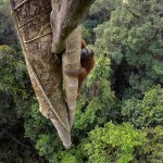 Орангутанг взбирается на 30-метровую высоту, соблазнившись плодом фикуса-душителя.